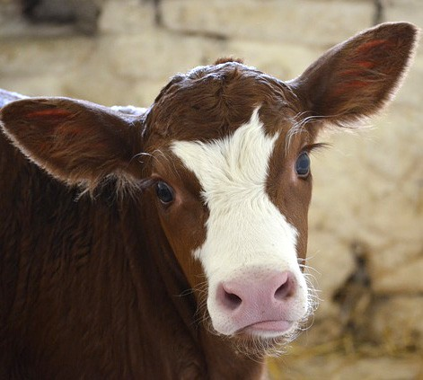 Cow Meaning and Animal Symbolism