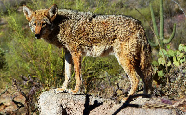 Coyote Meaning and animal symbolism