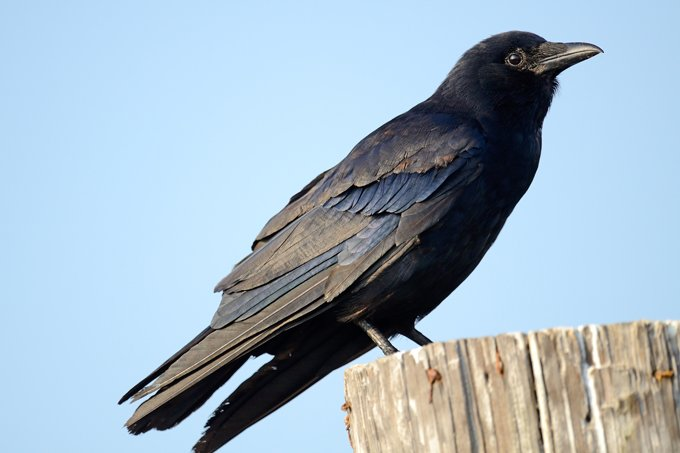 symbolic meaning of the crow