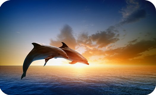 dolphin symbolism and dolphin meaning dolphin tattoo meaning