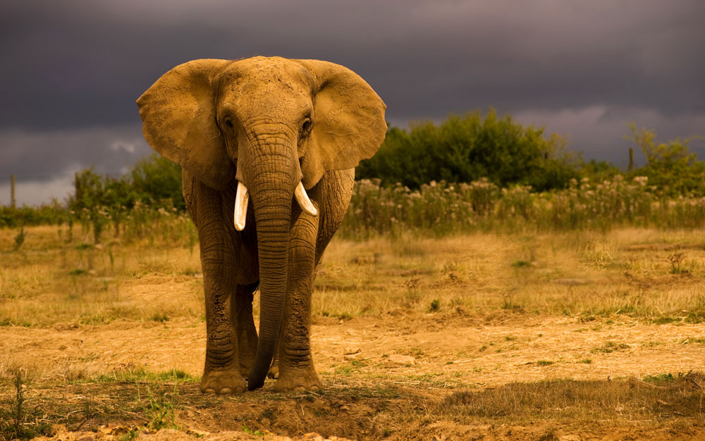 Elephant Meaning and E...