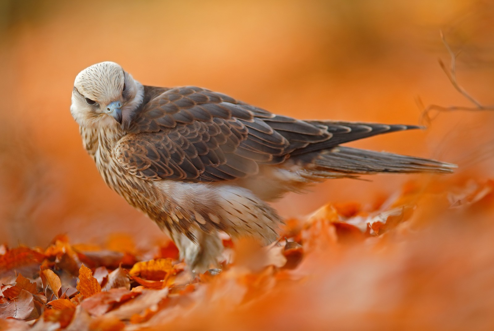 falcon animal totem meanings and falcon meaning