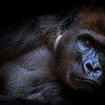 Gorilla meaning animal symbolism