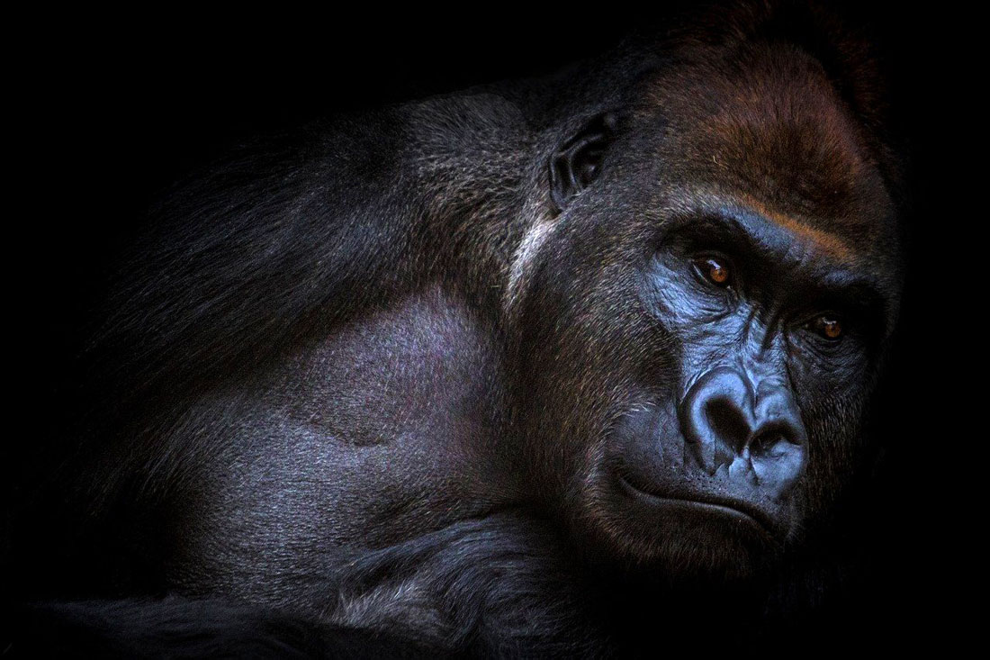 Animal Symbolism Gorilla