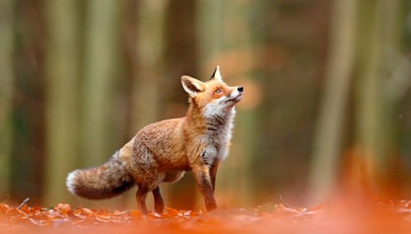 Red fox symbolism