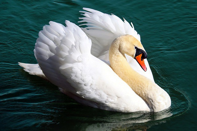 symbolic swan meaning