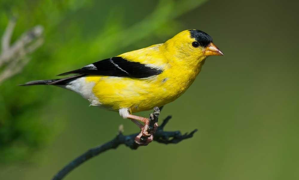Finch Meanings