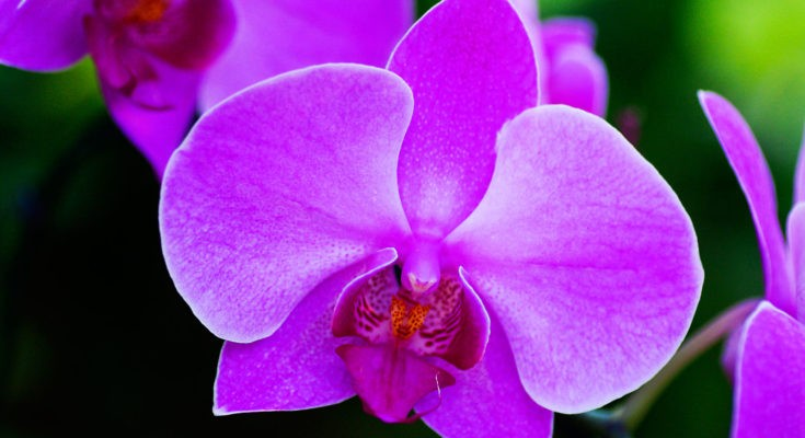 Flower meanings and orchid meanings