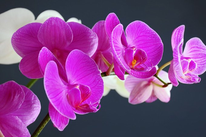 flower meanings of the orchid