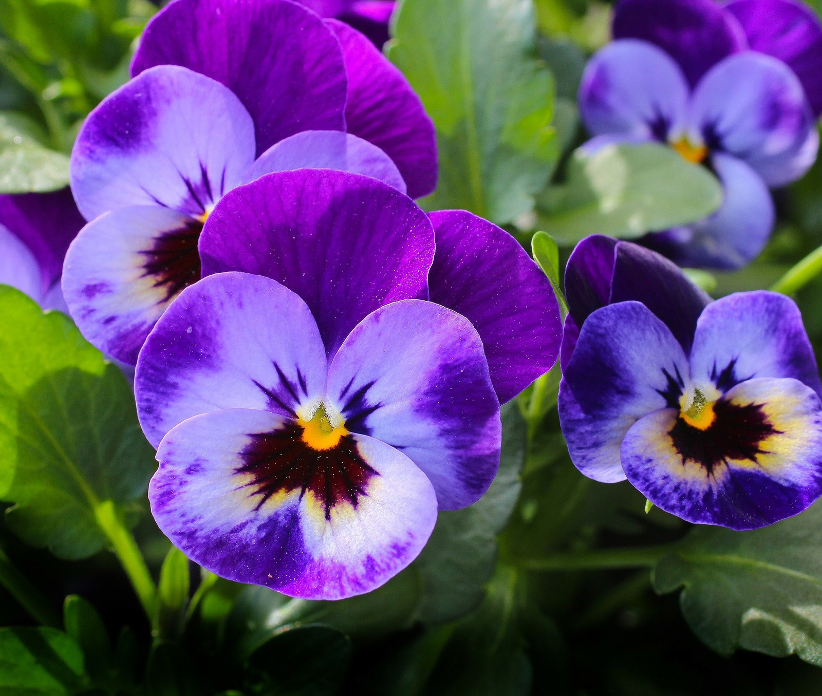 Flower Meanings Meaning Of The Pansy On Whats Your Sign