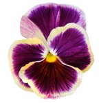 pansy flower meanings