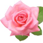 rose flower meanings and rose symbolism