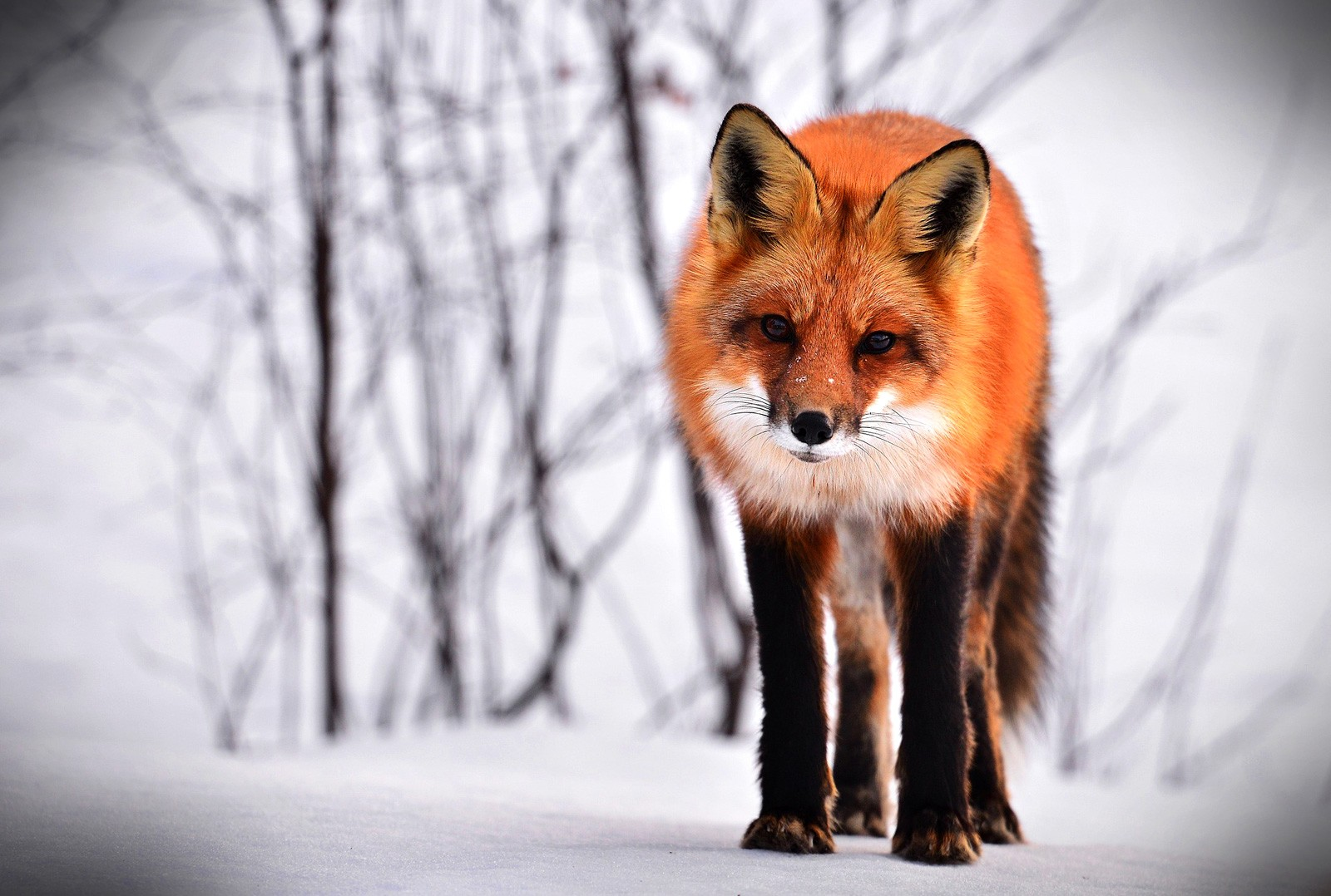 fox animal symbolism and fox totem meanings