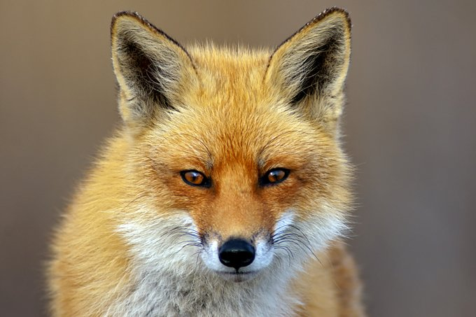 Fox Animal Symbolism And Fox Totem Meanings On Whats Your Sign