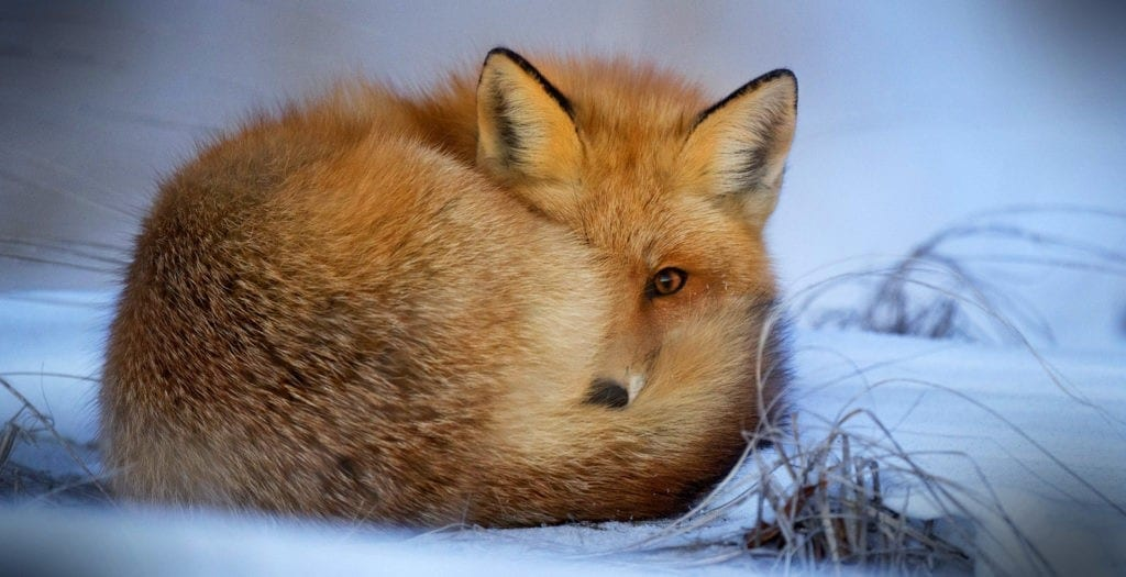 fox meaning and fox tattoo ideas