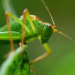 grasshopper totem and grasshopper meaning
