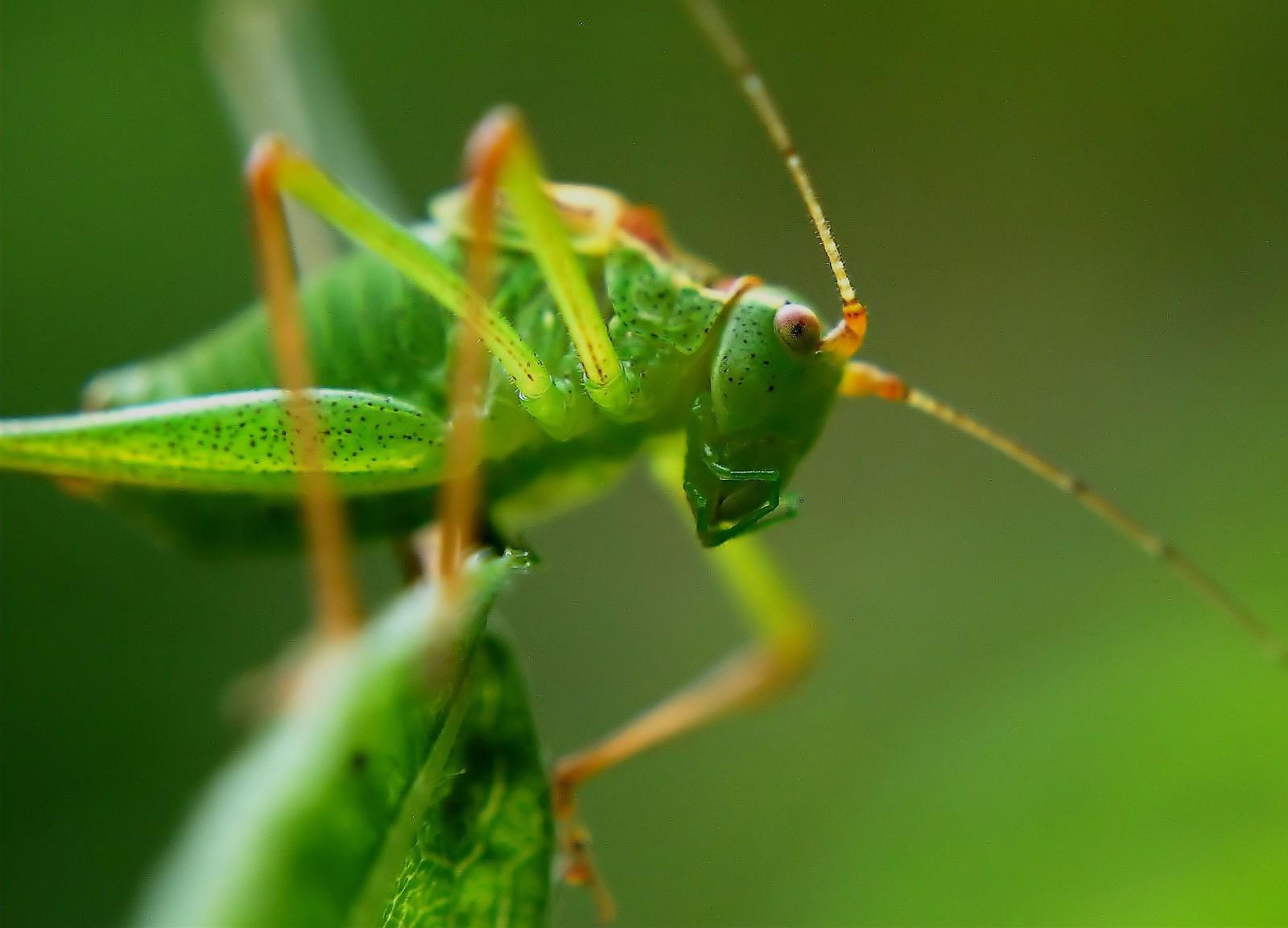 Grasshopper Totem and Symbolism