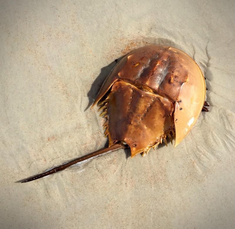 horseshoe crab meaning