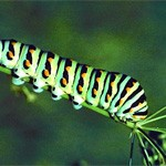 caterpillar meaning