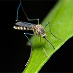 mosquito meaning