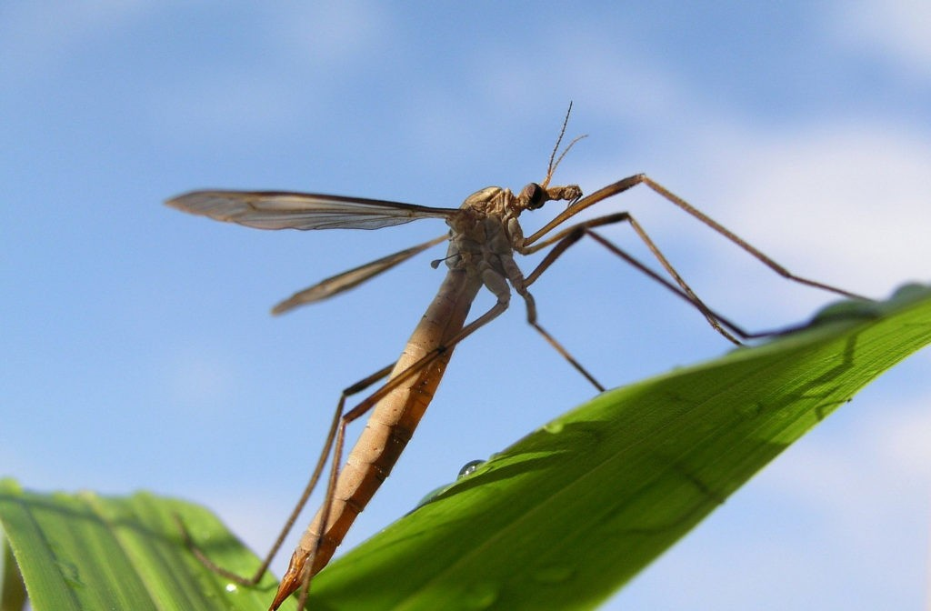 Crane fly meaning