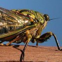 Cicada meaning and the month of June