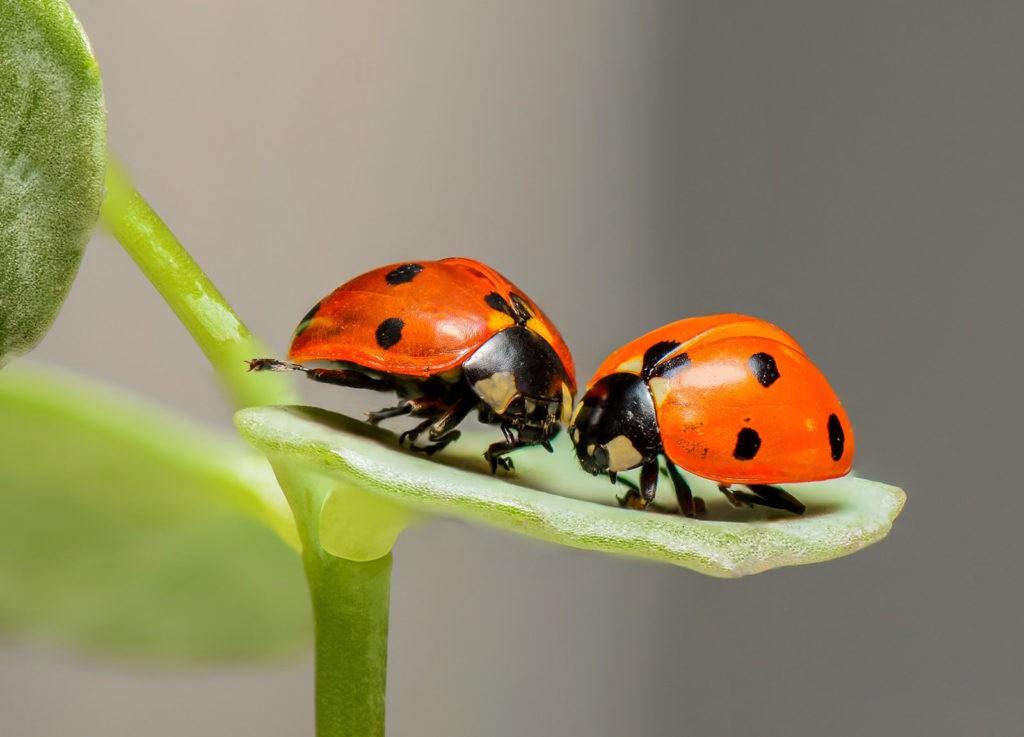 Ladybug love symbolism