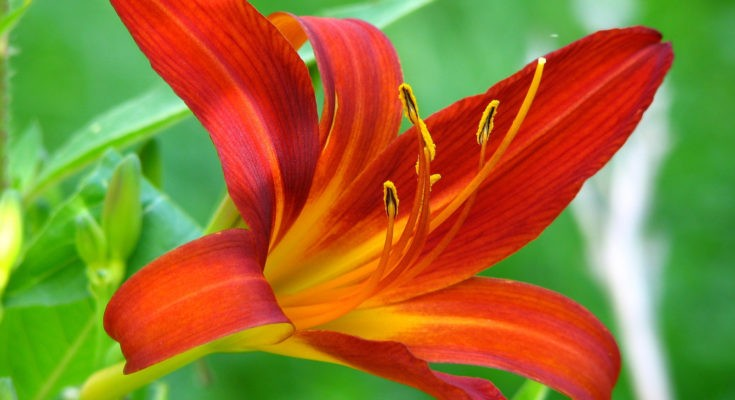 symbolic lily meaning
