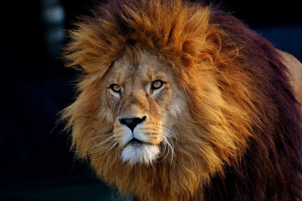 lion tattoo ideas and lion meanings