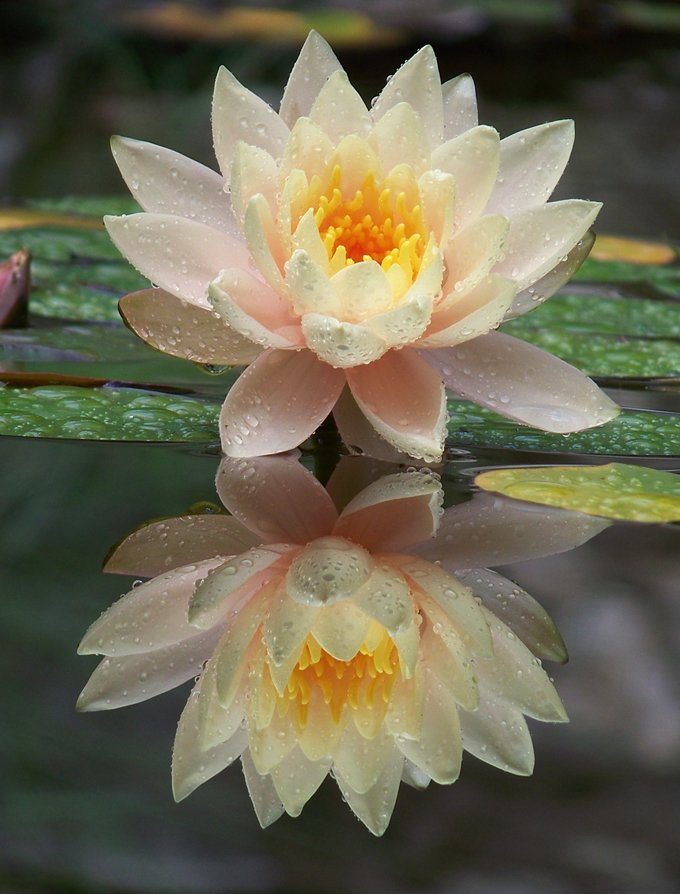 Lotus flower meanings and lotus symbolism on whats your sign closing thoughts on lotus flower meanings mightylinksfo Choice Image