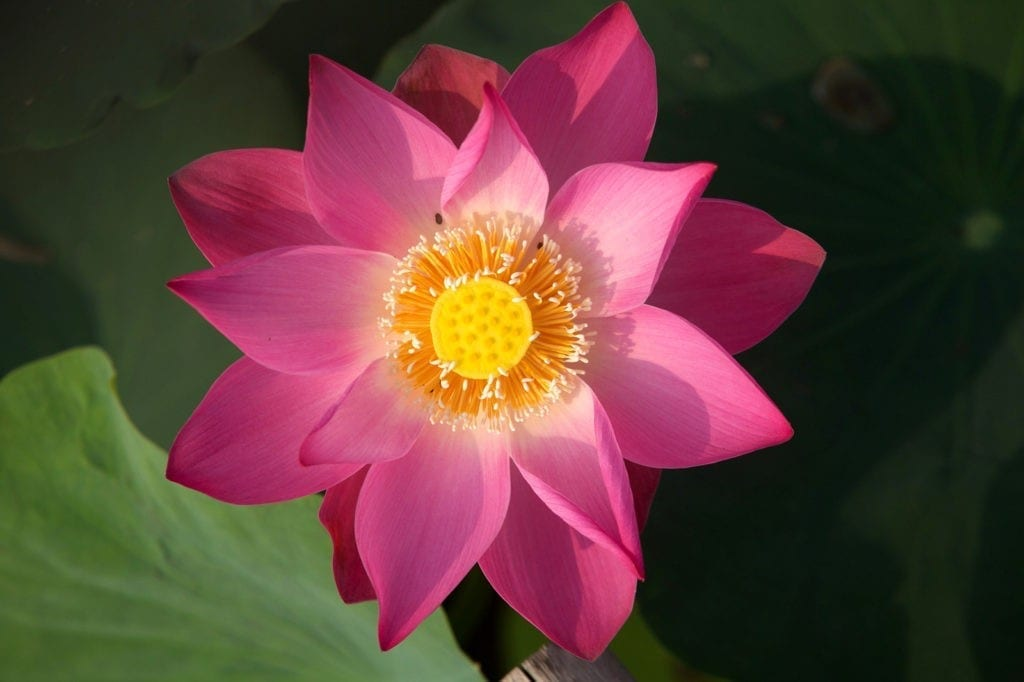 Lotus tattoo ideas and lotus meaning