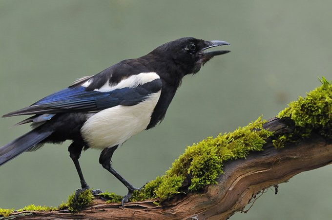 magpie symbolic meanings