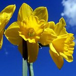daffodil meaning and the meaning of the month of march
