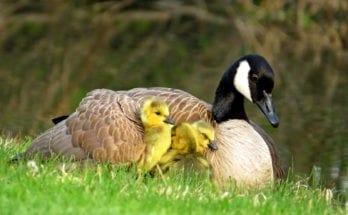 mother bird symbolism and birds that are symbols of motherhood