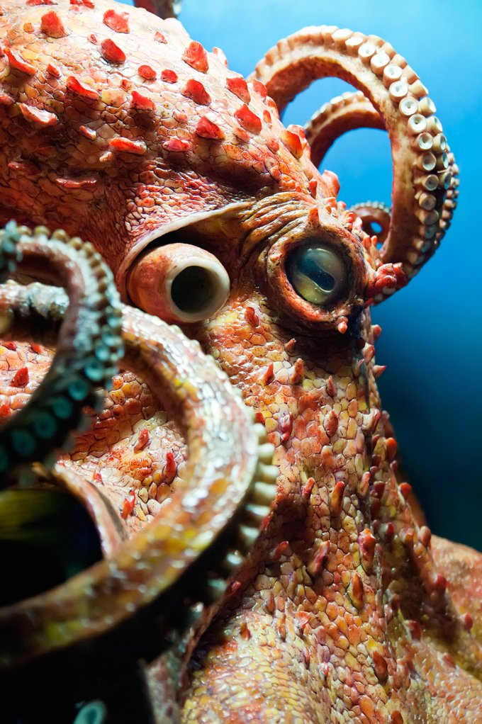 Octopus meaning and animal symbolism of the octopus