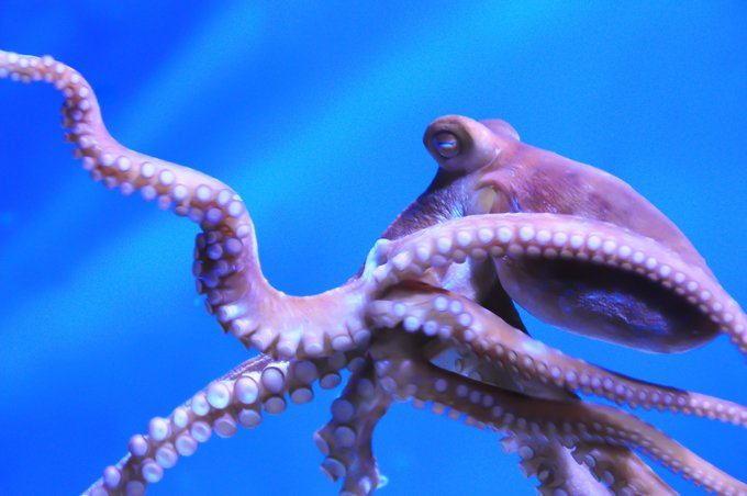 octopus meaning