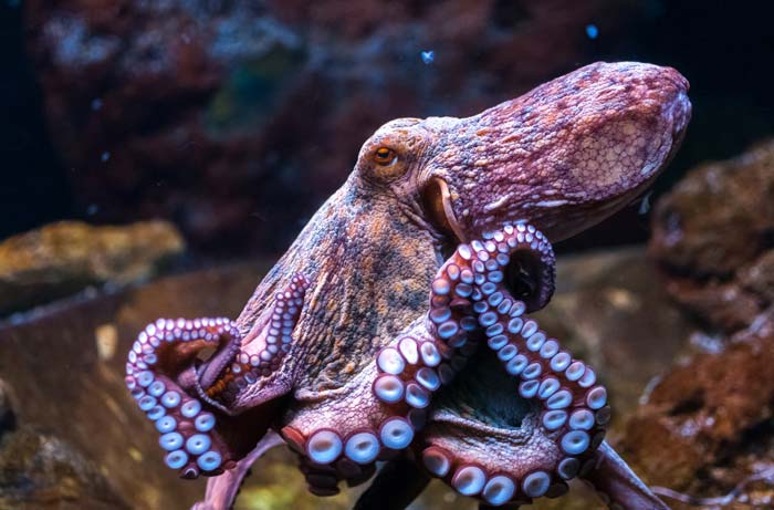 Symbolic Octopus Meaning