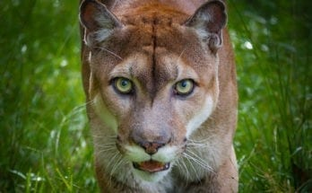 panther totem meaning