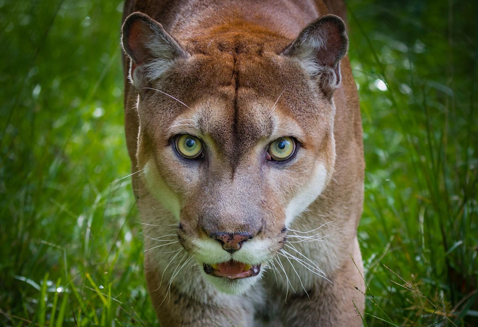 Panther Animal Totem