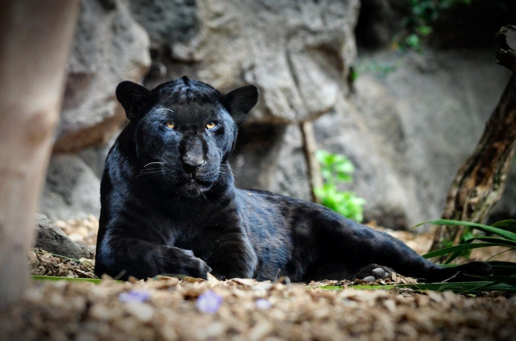 panther animal totem meaning