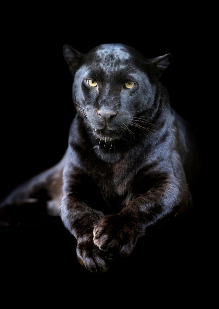 panther tattoo meaning and panther totem meaning