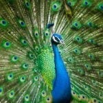 peacock symbolism and peacock meaning