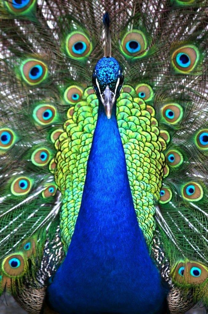 peacock symbolism