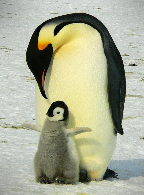 penguin meaning