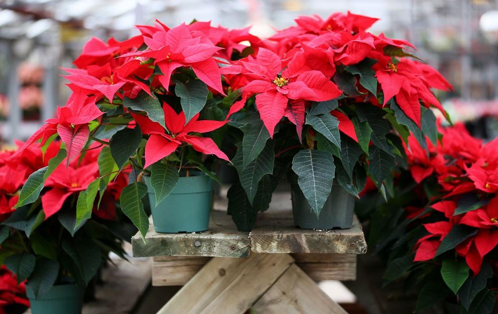 poinsettia Christmas flower meanings