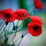 poppy symbolism and poppy meaning