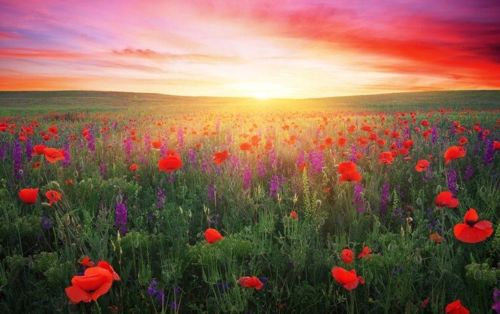 poppy symbolism and poppy flower meanings