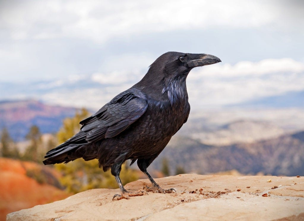 raven symbolism and raven meaning