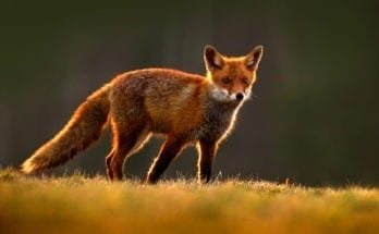 red fox symbolism and red fox meaning