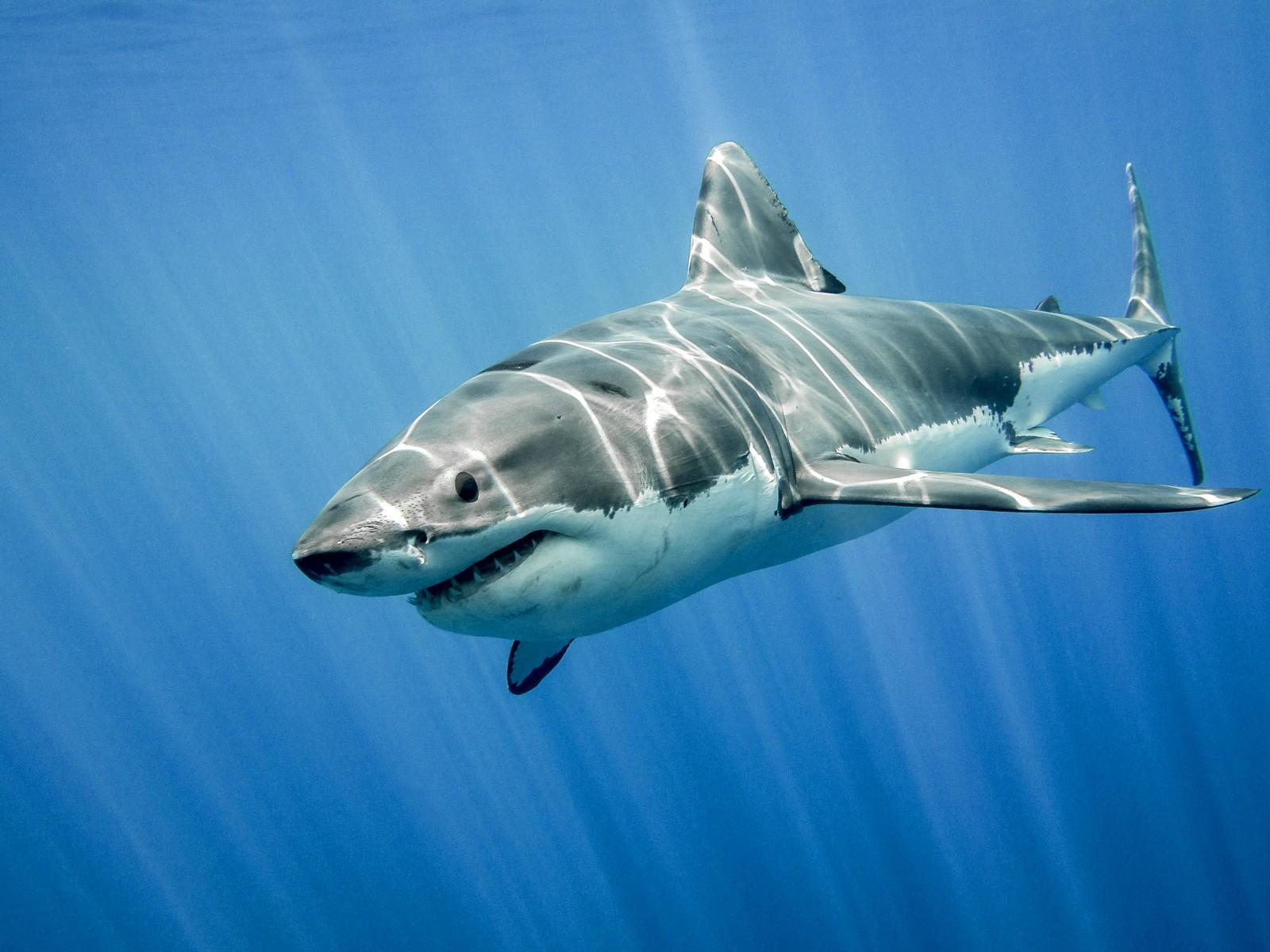 Shark Tattoo Ideas